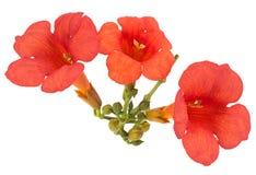 Fleur de plante grimpante de trompette images stock