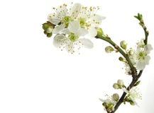 Fleur de plomb Photo libre de droits