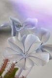 Fleur de Plumbego Images stock