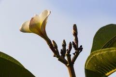 Fleur de Plumeria Photo libre de droits