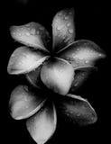 Fleur de Plumeria Photos libres de droits