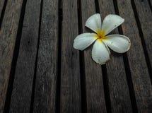 Fleur de Plumeria Photographie stock