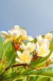 Fleur de Plumeria Photo stock