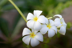 Fleur de Plumeria images stock