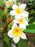 Fleur de Plumeria Photos stock