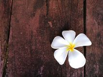 Fleur de Plumeria Photographie stock libre de droits
