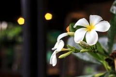 Fleur de Plumeria image libre de droits