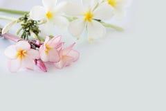 Fleur de Plumeria Images libres de droits