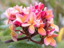 Fleur de Plumeria dans le jardin Image libre de droits