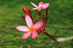 Fleur de Plumeria en plan rapproché de jardin Photo stock