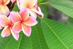 Fleur de Plumeria en plan rapproché de jardin Photo libre de droits