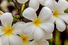 Fleur de plumeria de plan rapproché Photographie stock