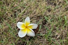 Fleur de Plumeria sur l'herbe Photos stock