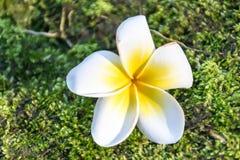 Fleur de Plumeria sur la mousse verte Image stock