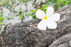 Fleur de Plumeria sur le bois de construction Images stock