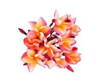 Fleur de Plumeria sur le fond blanc Images stock