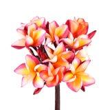 Fleur de Plumeria sur le fond blanc Image libre de droits