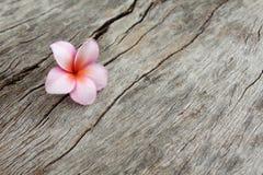 Fleur de Plumeria sur le vieux bois images libres de droits