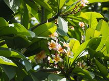Fleur de Plumeria de Thaïlande photo libre de droits