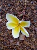 fleur de plumerria Photos stock