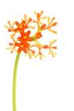 Fleur de podagrica de Jatropha Image libre de droits