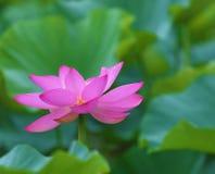 Fleur de Poink Lotus Images libres de droits