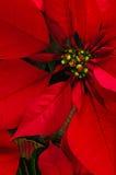 Fleur de poinsettia Photographie stock libre de droits