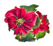 Fleur de poinsettia Photos libres de droits
