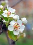 Fleur de poire Photographie stock libre de droits