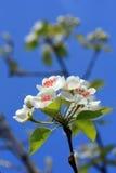 Fleur de poire Image libre de droits