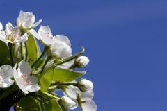 Fleur de poire Images libres de droits