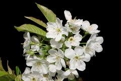 Fleur de poire Photo libre de droits