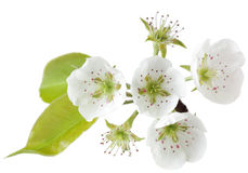 Fleur de poire Photos libres de droits