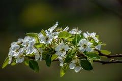Fleur de fleur de poire, Shalimar Garden, Cachemire photo libre de droits
