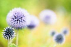 Fleur de poireau Images stock