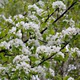 Fleur de poirier Branches avec les fleurs blanches photo libre de droits