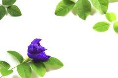 Fleur de pois de papillon avec l'isolat de feuilles sur le fond blanc Image stock