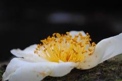 Fleur de pollen Photographie stock