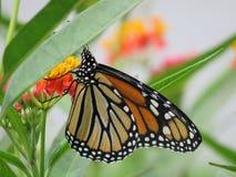 Fleur de pollination de beau papillon étroite Image libre de droits