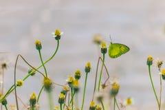 Fleur de pollinisation de papillon Images libres de droits