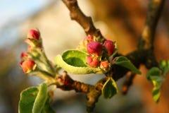 Fleur de pomme Photo libre de droits