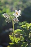 Fleur de pomme de terre Images stock