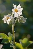 Fleur de pomme de terre Photographie stock
