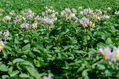 Fleur de pomme de terre Photo libre de droits