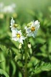 Fleur de pomme de terre en fleur Photographie stock