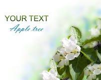 Fleur de pommier Images libres de droits