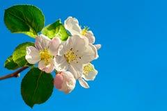 Fleur de pommier Image stock
