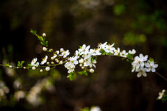 Fleur de pommier Photos libres de droits