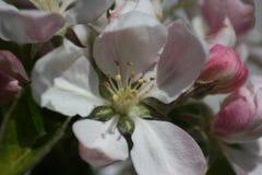 Fleur de pommier Image libre de droits