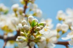 Fleur de pommier au-dessus de ciel bleu photos stock
